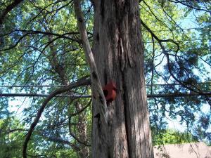 Wood Cardinal